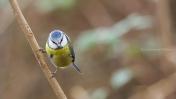 Cyanistes caeruleus - Eurasian blue tit