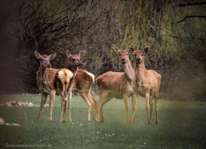 Cervus elaphus - Red deer