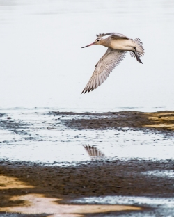 Limosa limosa - Black-tailed godwit