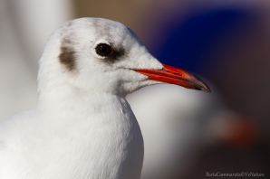 Chroicocephalus ridibundus - Black-headed gull