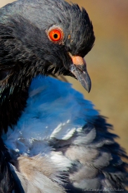 Columba livia - Homing pigeon