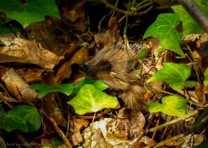 Erinaceus europaeus - European hedgehog