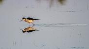 Himantopus himantopus - Black-winged stilt