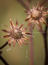Capolini di Dittrichia viscosa dopo la pioggia
