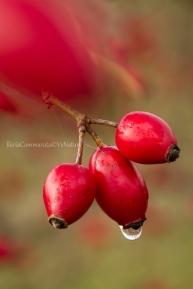Rosa canina bagnata dalla pioggia