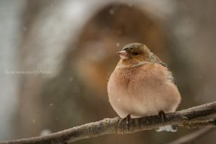 Fringilla coelebs - Common chaffinch