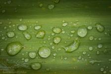 Gocce di pioggia sulla foglia di una Typha latifolia