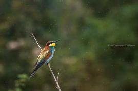 Merops apiaster - European bee-eater
