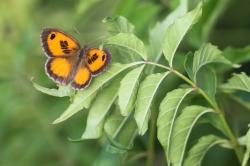 Pyronia cecilia