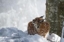 Lynx lynx - Eurasian lynx