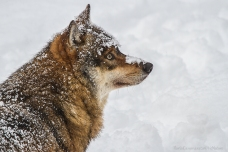 Canis lupus - Gray wolf