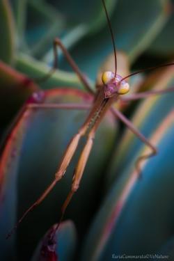Mantis religiosa