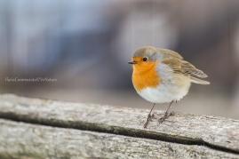 Erithacus rubecola - Robin