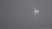Cygnus columbianus - Tundra swan