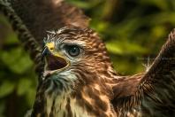 Buteo buteo - Common buzzard