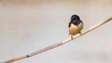 Hirundo rustica - Barn swallow