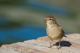Passer italiae - Italian sparrow