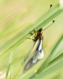 Libelloides coccajus