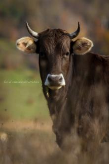 Bos taurus - Domestic cow