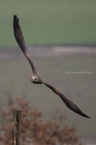 Milvus migrans - Black kite