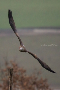 Milvus migrans - Black kite