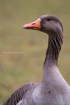 Anser anser - Greylag goose