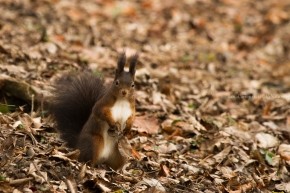 Sciurus vulgaris - Red squirrel