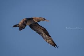 Morus bassanus - Northern gannet