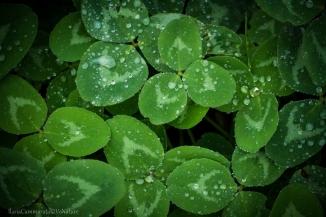 Trifolium pratense bagnato dalla rugiada