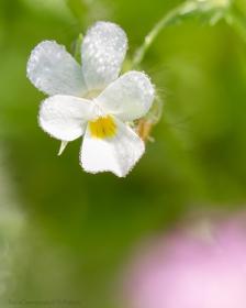 Viola arvensis ancora bagnata dalla rugiada